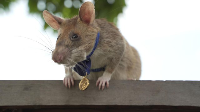 Undated handout photo issued by the PDSA of Cambodian landmine detection rat, Magawa, wearing his PDSA Gold Medal, the animal equivalent of the George Cross.