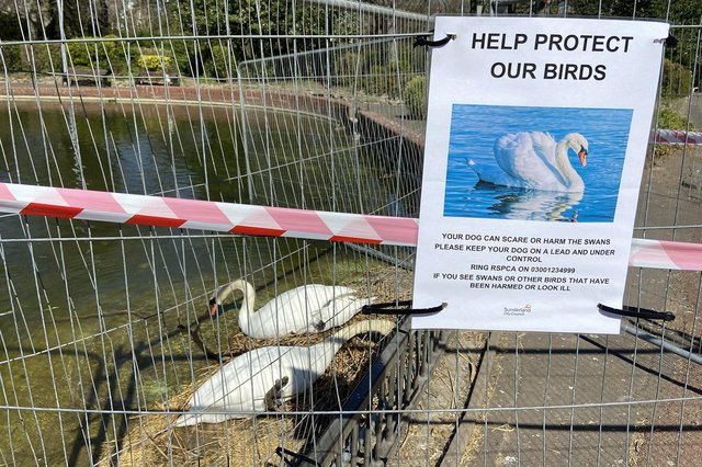 The swans have been fenced off so their nesting cannot be disturbed.