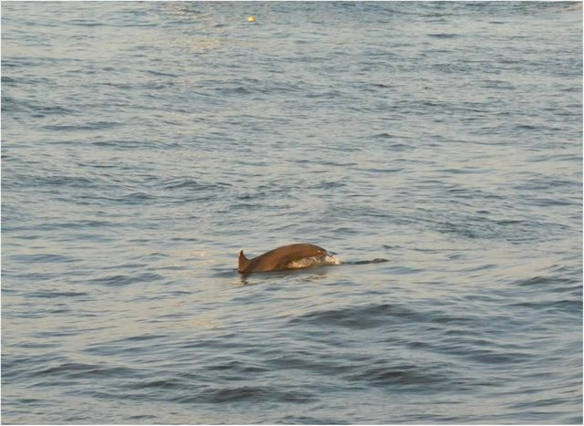 Gill managed to capture dolphins near Roker pier. (Photo by Gill Helps)