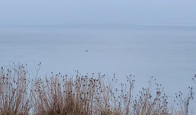 Dolphins were spotted off the coast at Seaham this week