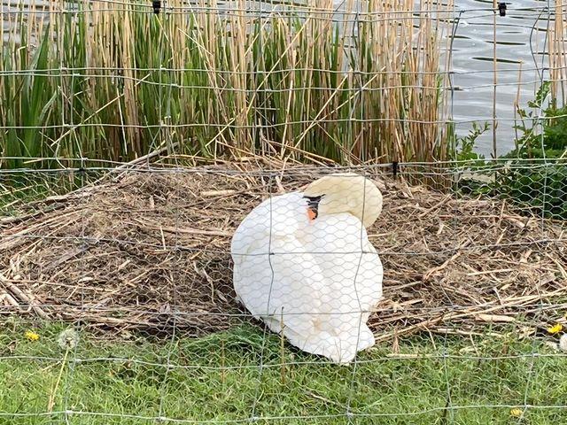 Concerned Wayne Badresingh says the swan was left devastated after all of her cygnets were taken. Photo: Wayne Badresingh