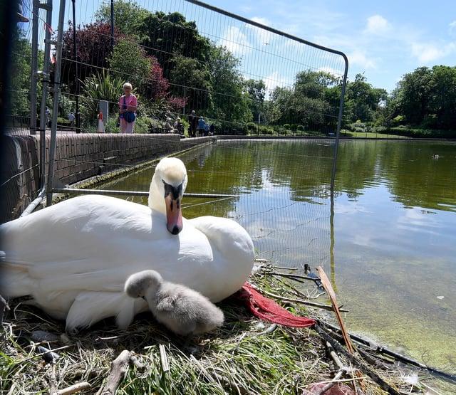 Swan with her cygnet in Roker Park.