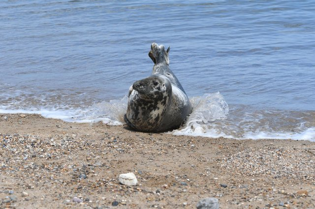 A seal on the beach at Seaham on Saturday.