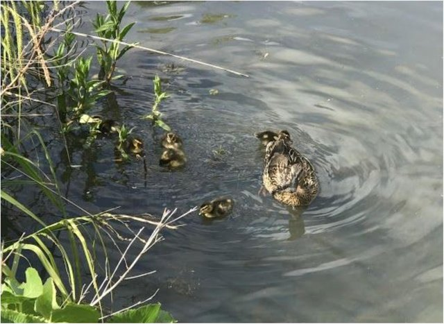 The RSPCA saved a family of ducks after they were trapped inside hospital grounds.